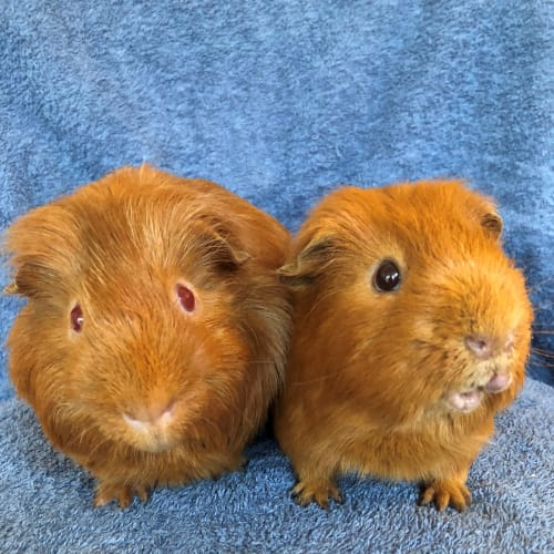 Butternut and Butterscotch - Smooth Hair Guinea Pig