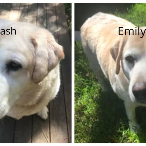 Tash - Labrador Dog