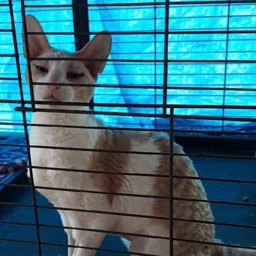 Mau - Cornish Rex Cat