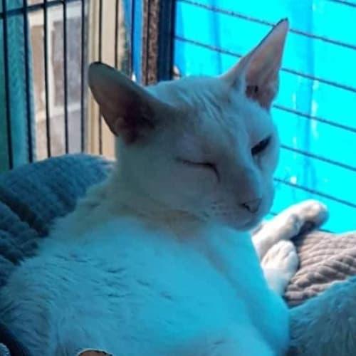 Cleo - Cornish Rex Cat