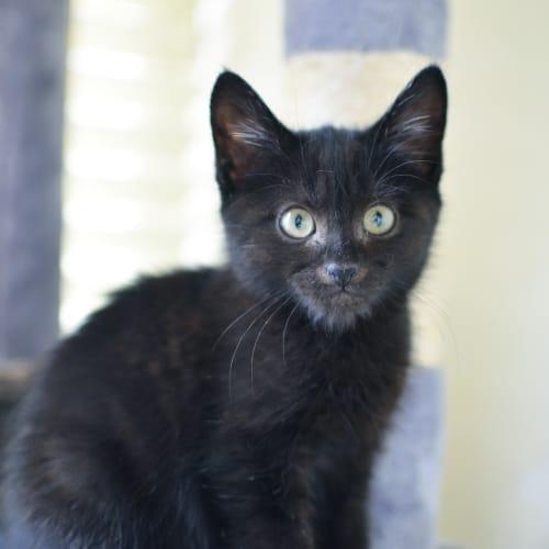 Leoric - Domestic Short Hair Cat