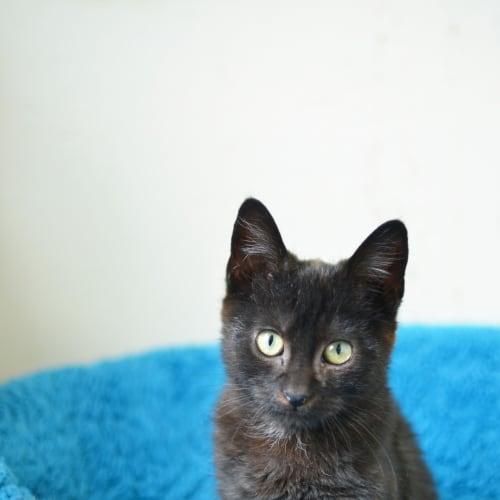 Felix - Domestic Short Hair Cat