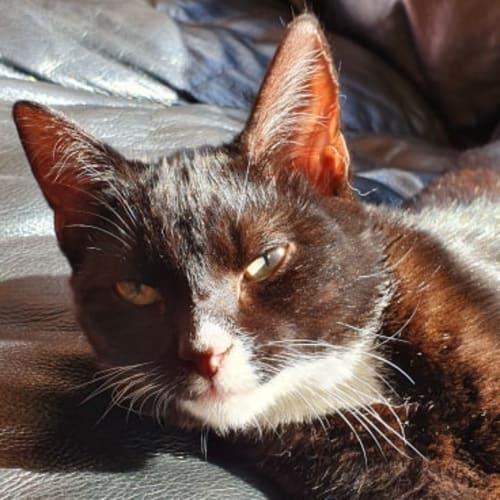 Chance (Located in Narre Warren) - Domestic Short Hair Cat