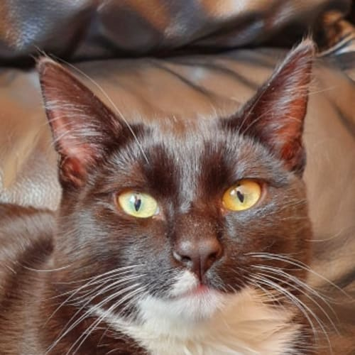 Neo (Located in Narre Warren) - Domestic Short Hair Cat
