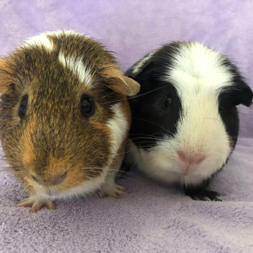 Gecko and Jet - Crested x Smooth Hair Guinea Pig
