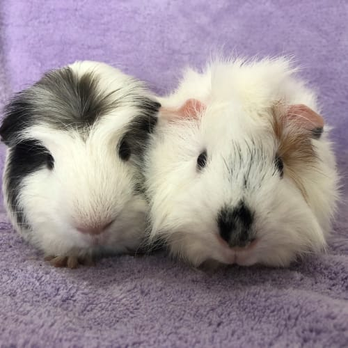 Elvis and Sam - Abyssinian x Crested Guinea Pig