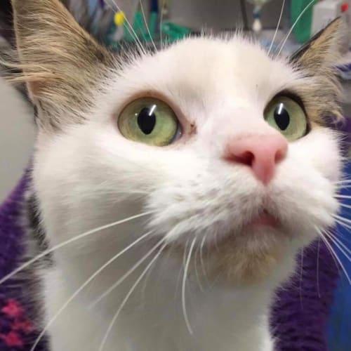 Lolly - Domestic Medium Hair Cat