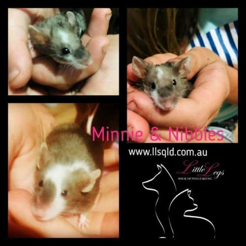 Minnie / Nibbles - Mouse