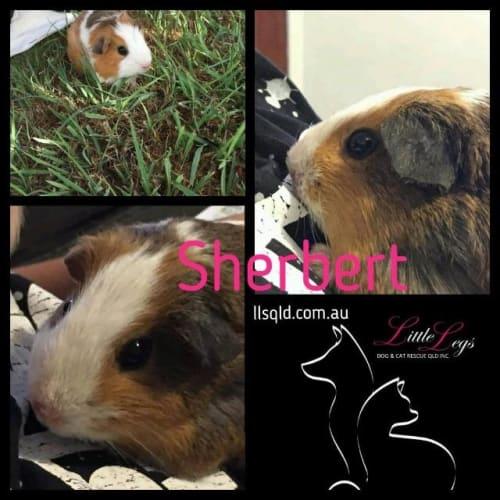 Sherbet - Guinea Pig