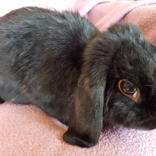 Kenny - Dwarf lop Rabbit