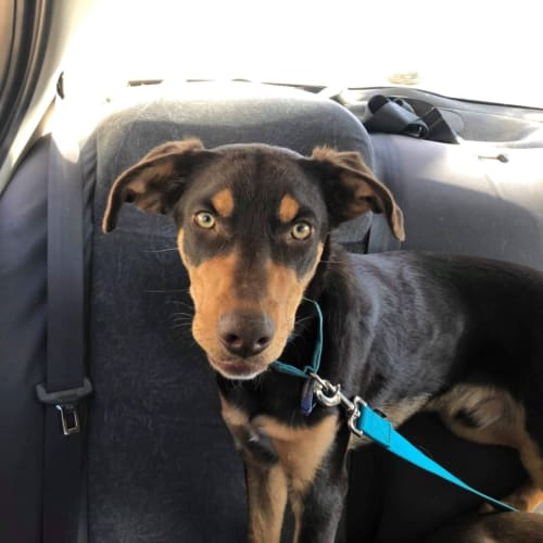 Koda - Kelpie Dog