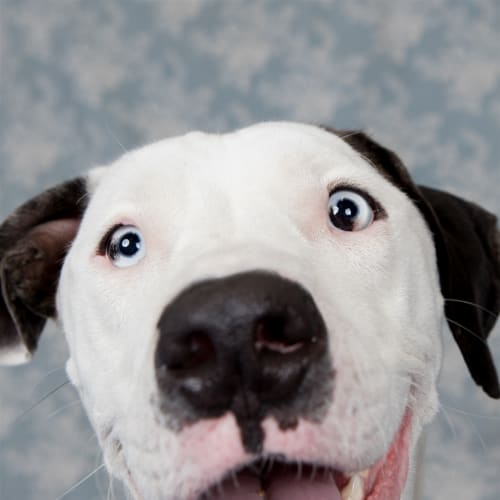 Pepper - Dalmatian x Louisiana Catahoula Leopard Dog