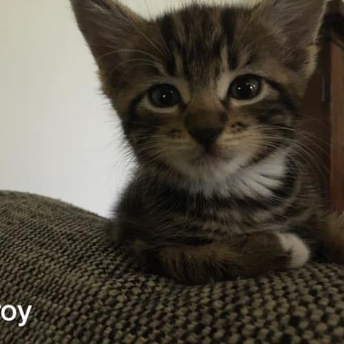 Leroy - Domestic Short Hair Cat