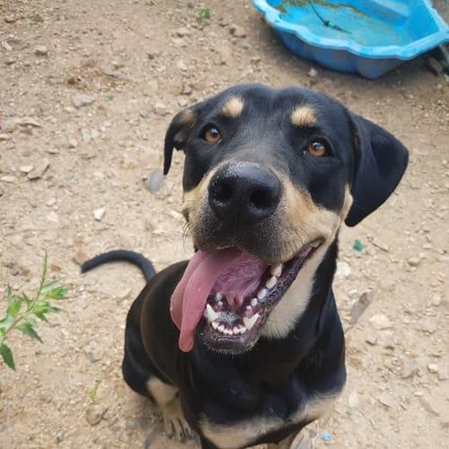 Skylah - Rottweiler Dog