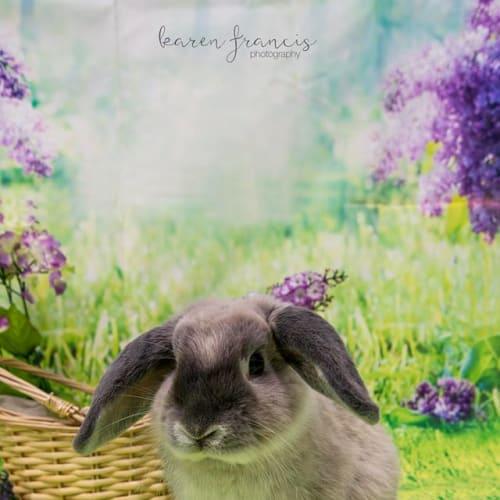 Fluffy - Mini Lop Rabbit