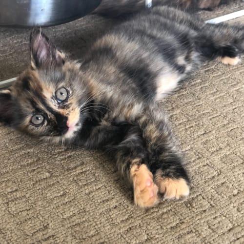 Maria - Domestic Medium Hair Cat