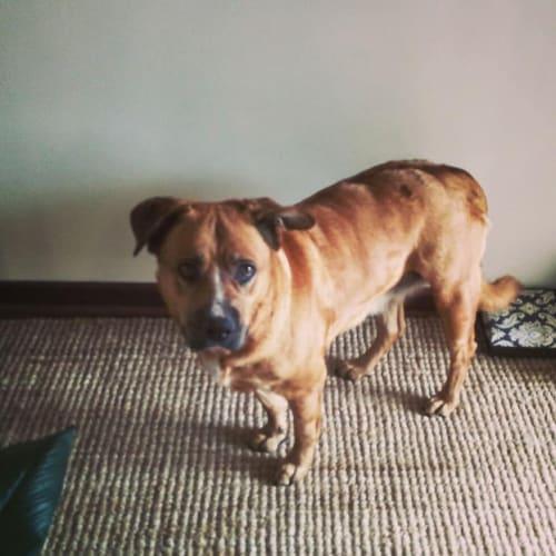 Berna - Mixed Breed Dog
