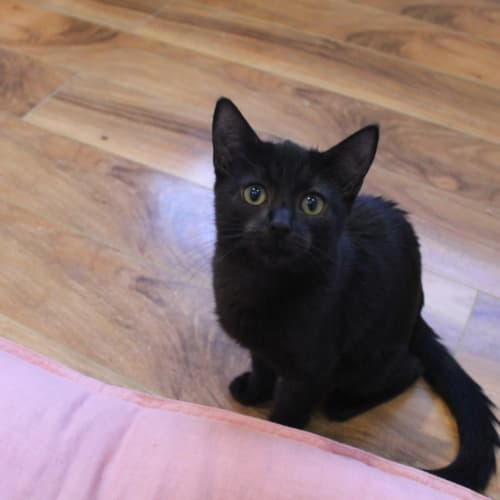 Midnight - Midi for short - Domestic Short Hair Cat