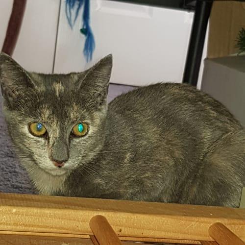 Tilly - Domestic Short Hair Cat