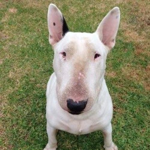 Trev - Bull Terrier Dog