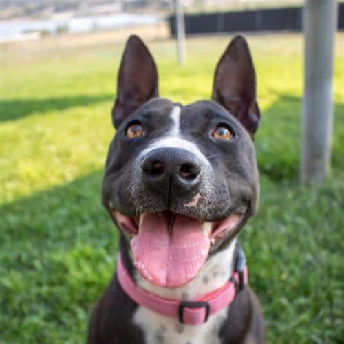 Daisy - Bull Terrier x Staffordshire Bull Terrier Dog