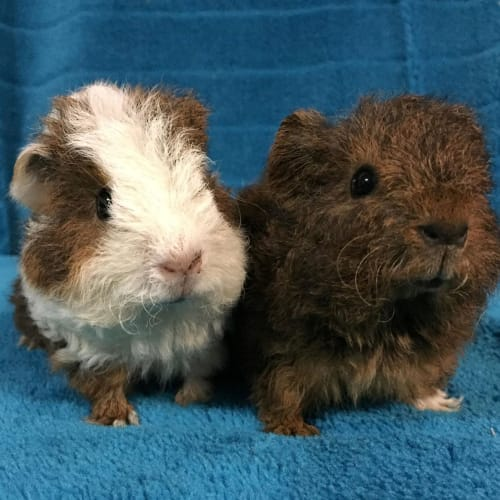 Bloops and Missy B (Indoor Home Only) - Rex Guinea Pig