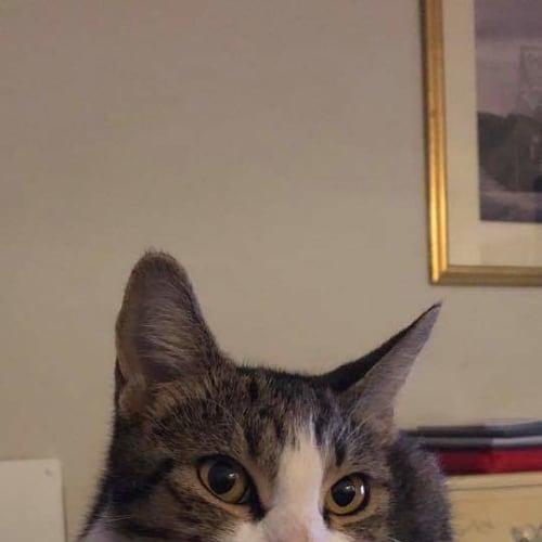 Mumma Mia - Domestic Short Hair Cat