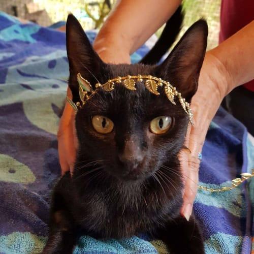 Pandora - Oriental Cat