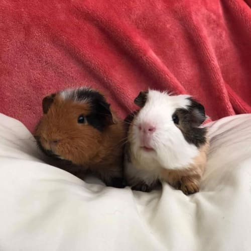 Leo and Reign (not suitable for children) - Rex Guinea Pig