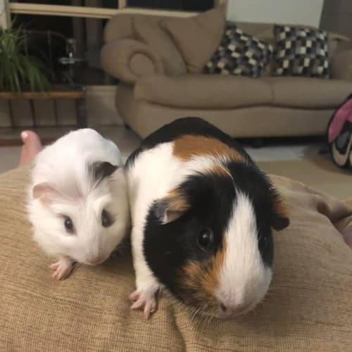 Ayala and Elio -  Guinea Pig