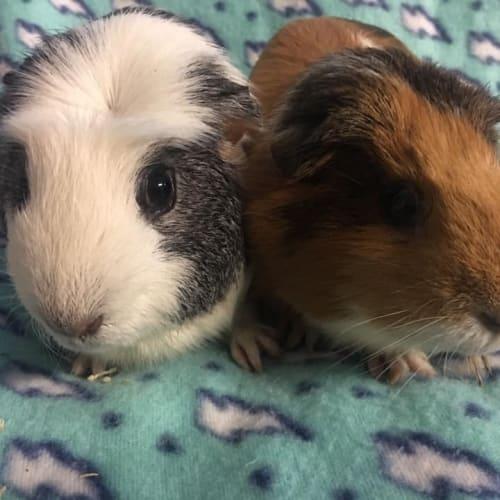 Lamington and Satay - Smooth Hair Guinea Pig