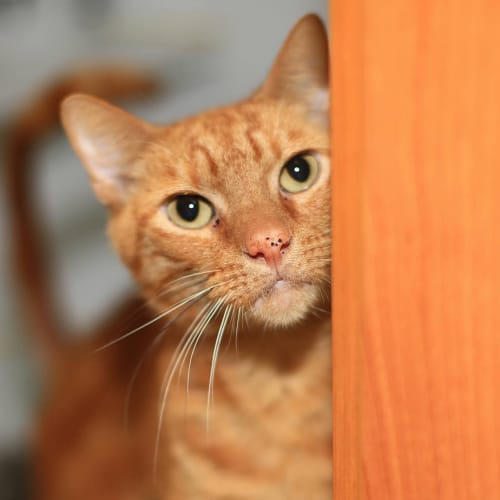 Archer - Located in Parkville - Domestic Short Hair Cat