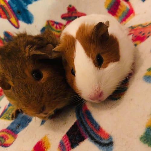 Minnii and Martha - Peruvian x Smooth Hair Guinea Pig