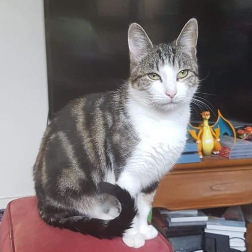 Heidi - Meet me at Neko HQ in Preston - Domestic Short Hair Cat