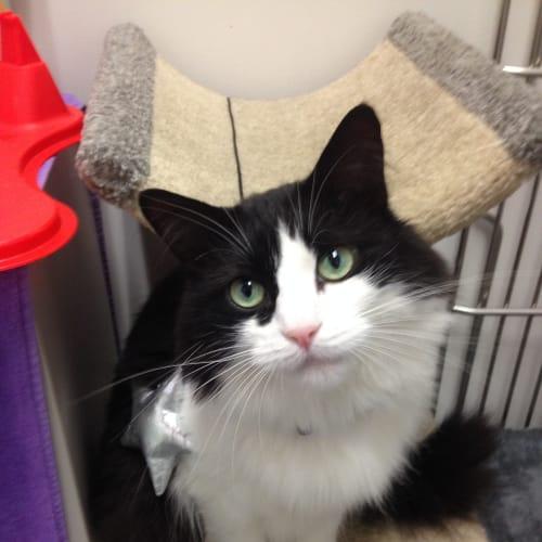 Fifi - Domestic Medium Hair Cat