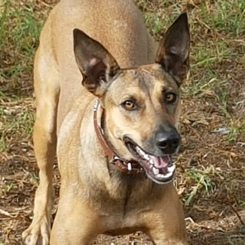 Ruby - Kangaroo Dog