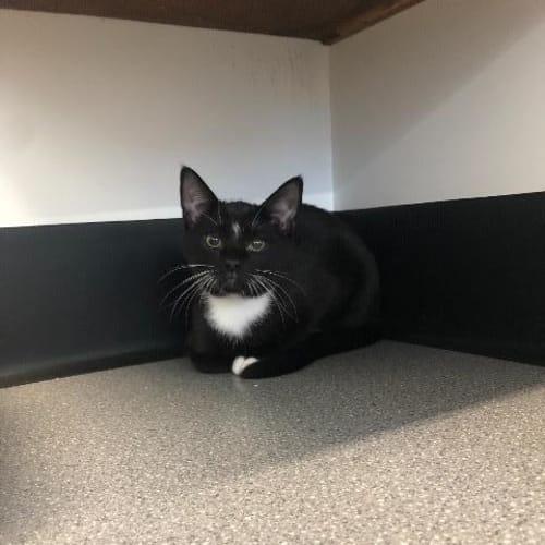Kobe - Domestic Short Hair Cat