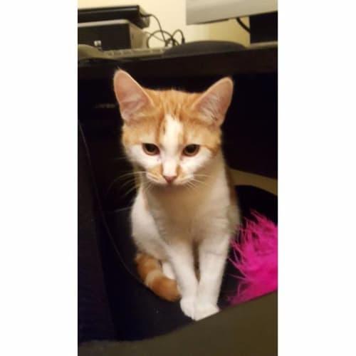 Tumeric - Domestic Short Hair Cat