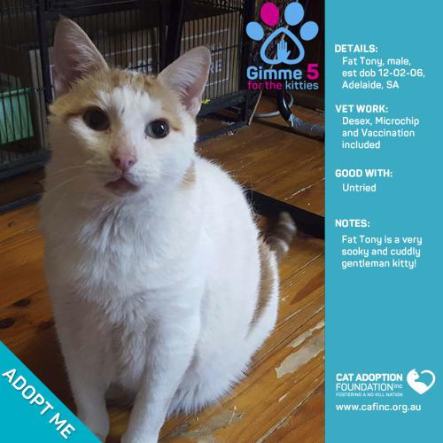 Fat Tony - Domestic Short Hair Cat