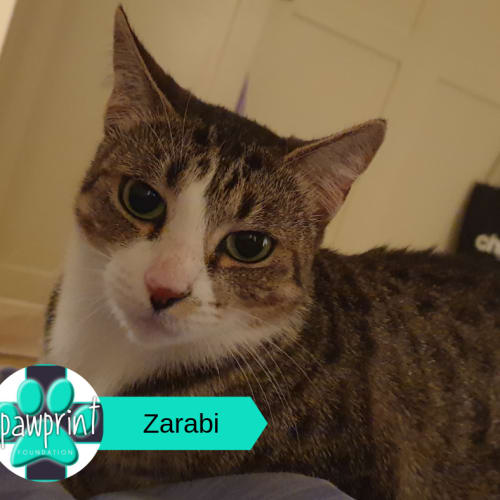 Zarabi - Domestic Short Hair Cat