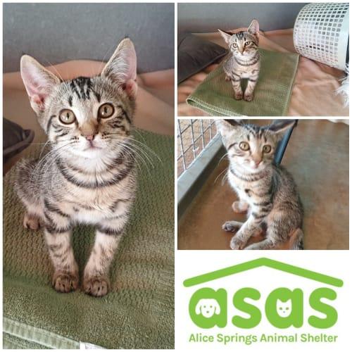 Tayte  CT19-093 - Domestic Short Hair Cat