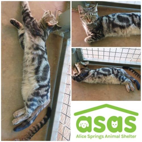Tara  CT19-056 - Domestic Short Hair Cat