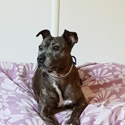 Chevy (girl) - Staffordshire Bull Terrier Dog