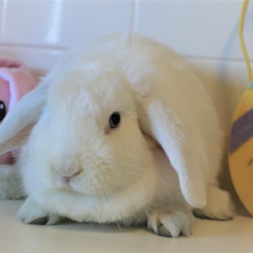 Twix - Lop Eared Rabbit