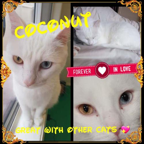 Coconut - Domestic Short Hair x Turkish Van Cat