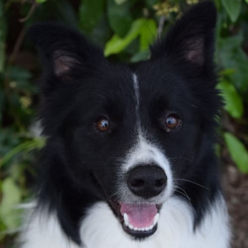Lenny - Border Collie Dog