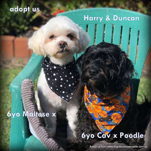 Duncan and Harry 🐶🐶 bonded pair - Cavalier King Charles Spaniel x Maltese x Poodle x Shih Tzu Dog