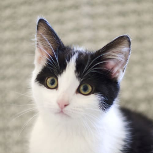 Jessie - Domestic Short Hair Cat