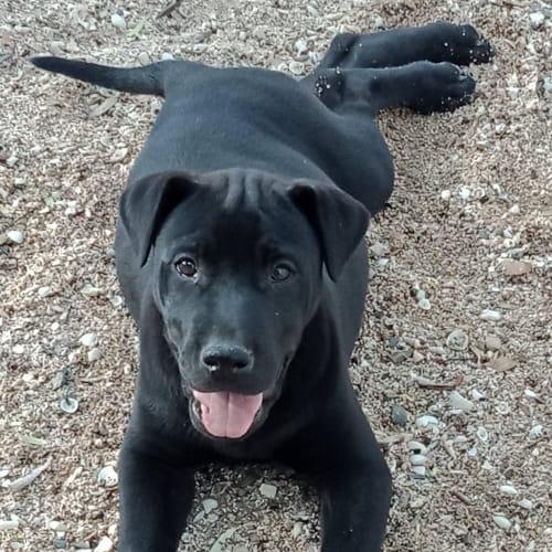 Hedy  - Cross breed Dog