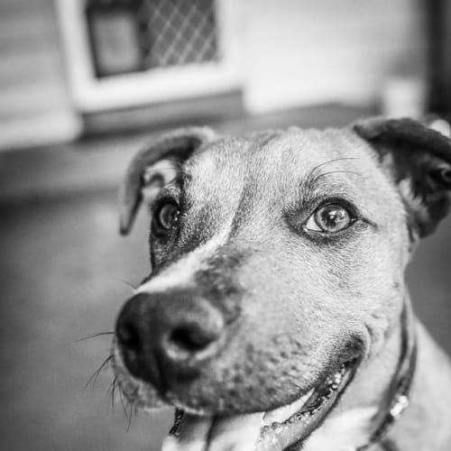 Prince - Staffy Dog